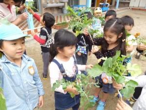 大根の収穫 (10)
