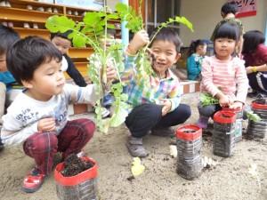 大根の収穫 (5)