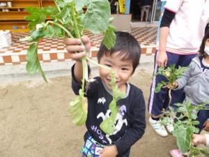 大根の収穫 (11)